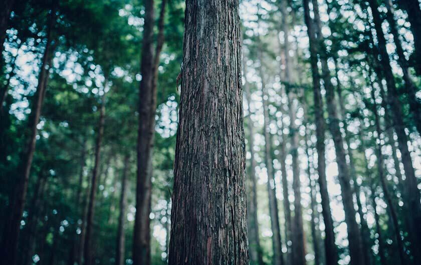 深い山林に育まれた檜。